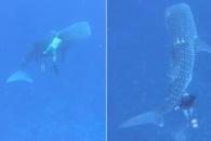 스노클링 하던 일가족, 어업용 밧줄에 걸린 고래상어 구해