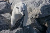비닐봉지 뜯어먹는 북극곰…쓰레기에 신음하다