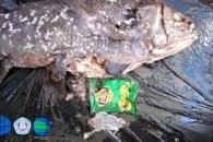 '살아있는 화석' 원시 물고기, 바다 쓰레기 먹고 죽은 채 발견
