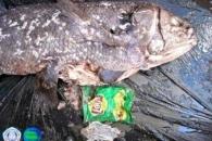 '살아있는 화석 물고기' 실러캔스, 비닐봉지에 죽음 맞다
