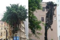 4층 건물 벽 뚫고 자라는 거대한 바냔나무 눈길 (영상)