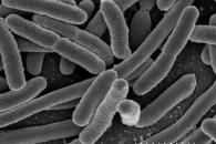 [와우! 과학] 대장균의 반전 역할…숙주의 철분 흡수 돕는다
