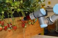 [고든 정의 TECH+] 영국이 '딸기 따는 로봇'을 만드는 이유