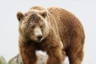 [와우! 과학] 곰의 침 속에 항생제 물질 후보가 있다