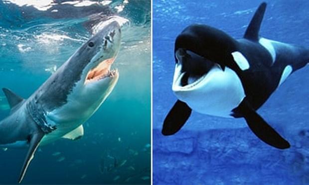 [와우! 과학] 범고래 vs 백상아리…바다 최강의 포식자는?