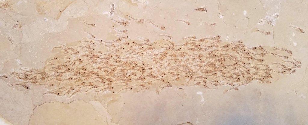 [와우! 과학] 5000만년 전 물고기떼 이동 중 한꺼번에 죽어 화석화