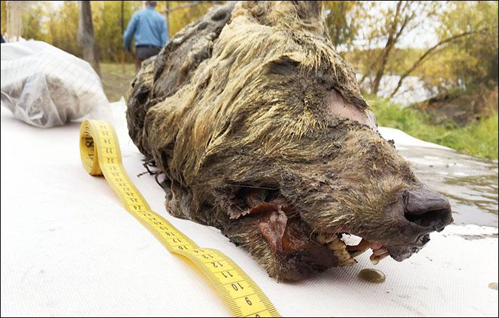 [와우! 과학] 4만 년 전 거대한 크기 '늑대 머리' 시베리아서 발견