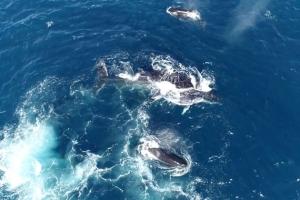 새끼 혹등고래 사냥 나선 범고래 패거리
