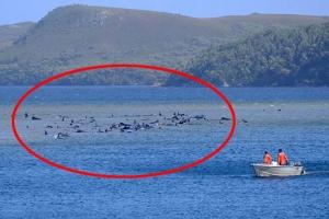 호주 해안서 90마리 고래 슬픈 떼죽음