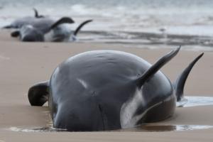 떼죽음 위기 고래 450마리…역대 최다