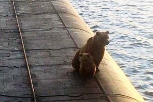 아기 곰, 러 핵잠수함 올라탔다가 사살