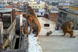 인도 원숭이, 쌍둥이 여아 납치해 살해